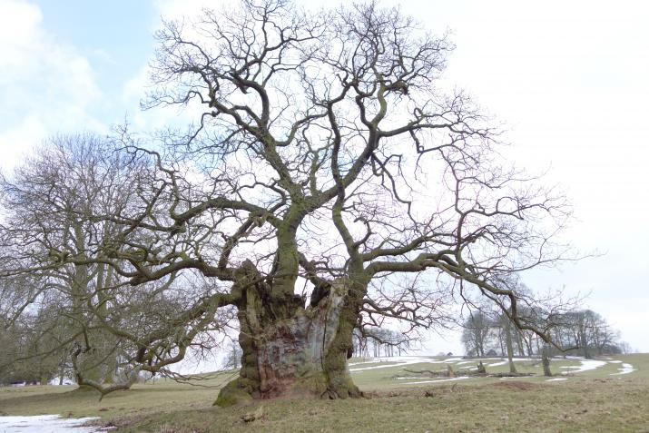 An ancient oak tree at Keddleston Hall, Derbyshire (Credit: Nick Atkinson, The Woodland Trust)