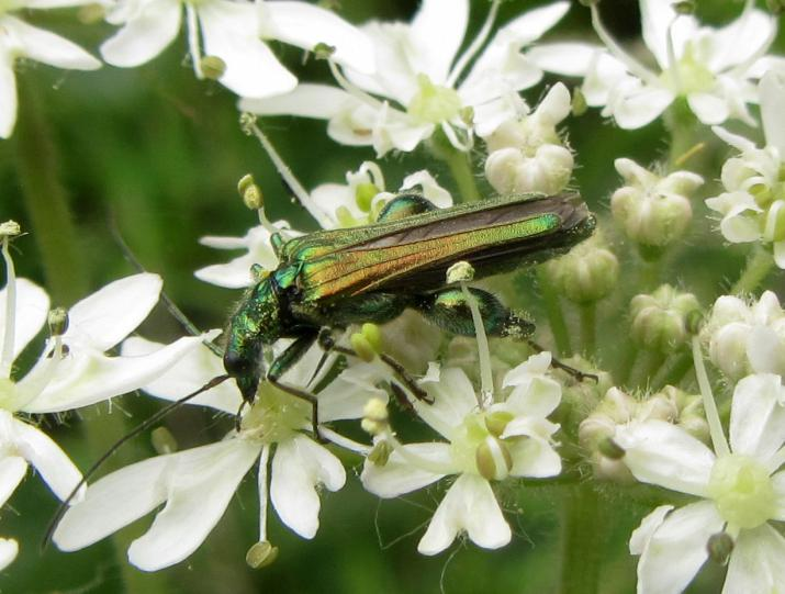Swollen-thighed beetle (Oedemera nobilis)