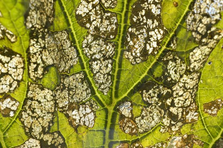 leaf damage (Creative Commons, Pablo Oliveri)