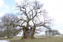 An ancient oak tree at Keddleston Hall, Derbyshire (Credit: Nick Atkinson, The Woodland Trust)