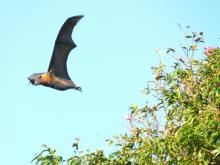 Flying fox by Mr.Rocks (CC BY-SA 3.0)