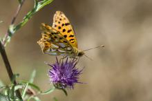 small pearl bordered fritillary (credit: Author)