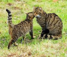Wildcat and kitten, Scotland (credit: creative commons)
